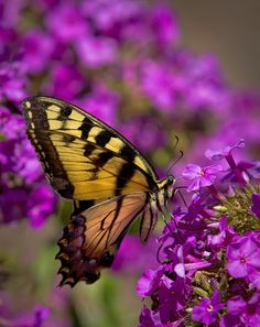 Tiger Swallowtail butterfly   by Mark Chandler Photography