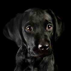 Mind Blowing Facts About Labrador Retrievers And Ideas. Amazing Facts About Labrador Retrievers And Ideas. Labrador Retriever Chocolate, Black Labrador Retriever, Labrador Golden, Golden Retriever, Labrador Retrievers, Black Lab Puppies, Cute Puppies, Dogs And Puppies, Black Puppy