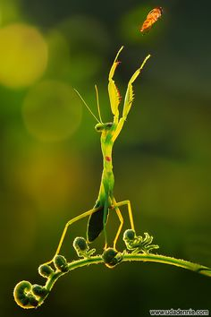 the praying mantis  can see movement  up to 60 feet away