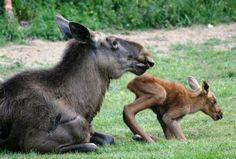 Baby moose are the cutest things alive.