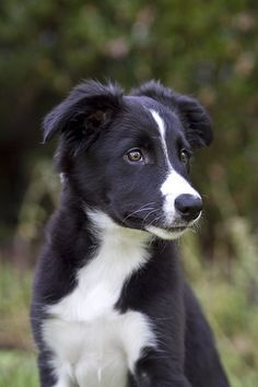 baby border collie