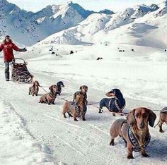 Wiener sled dogs