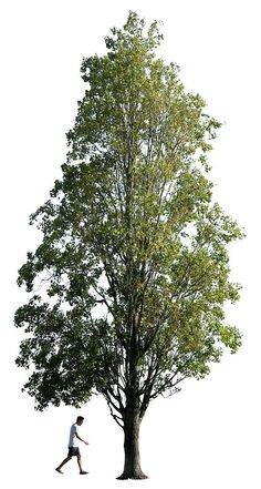 2659 x 4980 Pixels. PNG. Cutout photo of Black poplar tree with transparent background.