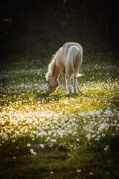 horse grazing in a field of dandelions | animals + equine photography