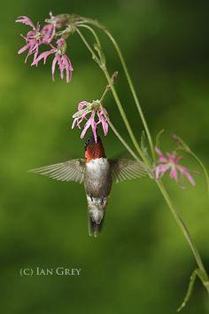 Phoenix. He is one hard working, intelligent bird. Here he is with my favorite flower, Ragged Robin.