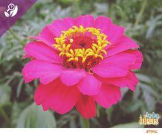 Você sabia que o significado do nome da flor Zinnia é elegante? Zinnia, ou mais popularmente Zínia, tem flores pequenas reunidas em capítulos solitários, grandes, que podem ser simples, semi-dobrados ou dobrados.