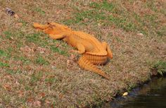 In a photo provided by Stephen Tatum, an orange alligator is seen near a pond in Hanahan, S.C. Photos show the 4- to 5-foot-long alligator on the banks of a retention pond at the Tanner Plantation neighborhood. Jay Butfiloski with the South Carolina Department of Natural Resources says the color may come from where the animal spent the winter, perhaps in a rusty steel culvert pipe. Experts say the alligator will shed its skin and probably return to a normal shade soon.  (Stephen Tatum via…