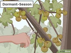 How to Prune a Fig Tree. Keeping your fig tree pruned will help it to produce sweeter, tastier figs since it enables the sugars and hormones to travel all the way up the branches and into the fruits. Garden Trees, Garden Plants, Vegetable Garden, Fig Tree For Sale, Heron Fountain, Growing Fig Trees, Baie De San Francisco, Tree Pruning, Pruning Plants