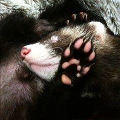 I love ferrets :)