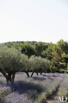The olive orchard is underplanted with rows of fragrant lavender.
