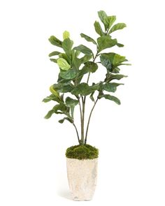 Fiddle-Leaf Fig - Botanicals - Accessories & Botanicals - Our Products