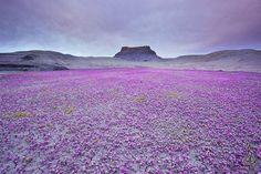 En el desierto más árido del planeta, nuestro desierto de Atacama, ocurre un fenómeno único en el mundo, en que tras inusuales precipitacion...