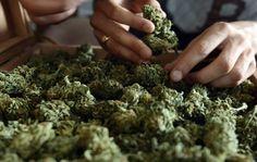 El caso pone de relieve las discrepancias sobre el tipo de sustancias químicas cuya utilización debe permitirse para el cultivo de la marihuana