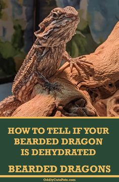 How To Tell If Bearded Dragons Are Dehydrated - Learn how to tell if your bearded dragon is dehydrated and how to get your reptile to drink water. Bearded Dragon Vivarium, Bearded Dragon Enclosure, Bearded Dragon Habitat, Bearded Dragon Care Sheet, Bearded Dragon Diet, Sugar Glider Pet, Sugar Gliders, Sunken Eyes, Beard Logo