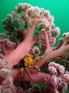 Sponge Decorator Crab