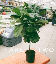fig tree care tips in the comments tree carefiddle leaf - Fiddle Leaf Fig Tree Care