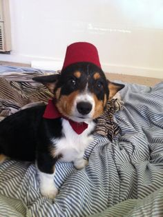 This corgi wears a fez now, fezzes are cool.