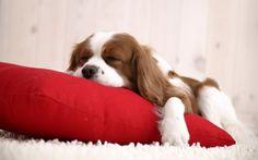 Coussinet rouge et chien endormi