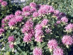 Wild Bergamot (Beebalm) - Perennial - blooms May thru Sept - Sun to part shade - soil dry to moist - Heat Tollerent - Fragrant - Medicinal - eatable - attracts honey bees, hummingbirds and butterflies for Okemah! Butterfly Garden Plants, Planting Flowers, Bulbs And Seeds, Hummingbird Garden, Garden Borders, Plant Species, Salvia, Native Plants, Garden Inspiration