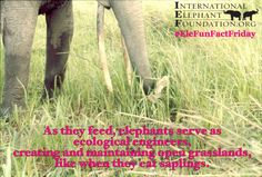 It's #EleFunFactFriday & #EndangeredSpeciesDay! Elephants act as ecological engineers, creating/maintaining grassland