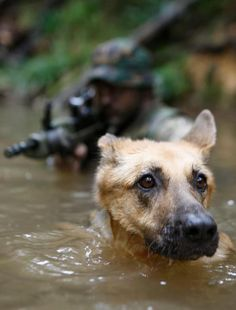 Military working dog with the US Navy SEALs.