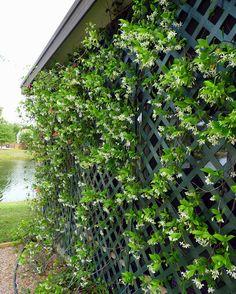 Confederate Jasmine (Trachelospermum jasminoides) Jasmine Vine, Jasmine Plant, Garden Oasis, Lawn And Garden, Backyard Patio, Backyard Landscaping, Backyard Retreat, Landscaping Design, Gardens