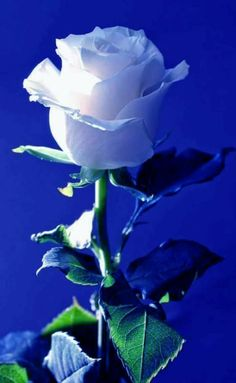 A single Rose Beautiful Rose Flowers, Flowers Gif, Beautiful Flowers Wallpapers, Flowers Nature, Exotic Flowers, Amazing Flowers, My Flower, Pretty Flowers, White Flowers