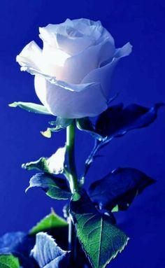 A single Rose Beautiful Rose Flowers, Flowers Gif, Beautiful Flowers Wallpapers, Flowers Nature, Exotic Flowers, Amazing Flowers, My Flower, Pretty Flowers, White Flowers