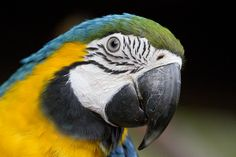 Macaw on black by Nathan Rupert Macaws are the original supermodels.