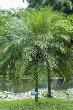 palmeira fenix adulta