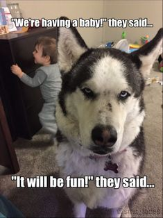 """Alaskan Husky Dogs Our dog Maya and her feelings on her """"baby brother."""" Her face says it all Hahahaha Gotta love Siberian Huskies and their facial expressions! Husky Humor, Husky Quotes, Funny Husky Meme, Dog Quotes Funny, Funny Animal Memes, Funny Dogs, Funny Animals, Cat Memes, Dog Jokes"""