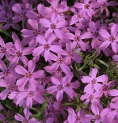 Lots of Phlox -- With more than 70 species, there is a phlox for just about every condition of sun, shade, & soil. Smooth phlox is hardy from zones 3 to 9, an area from southern Alaska to Florida.     Tough Growers:    • Dusty Miller (Artemisia stelleriana)    • Miss Jekyll (Nigella damascena)    • Stonecrop (Sedum acre)    • Butterfly milkweed (Asclepias tuberosa)    • Daylilies (Hemerocallis)