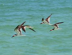 Skimmers on Sanibel