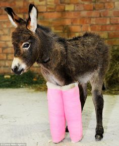 Primrose the three-week-old donkey was saved by vets who put her under-developed legs in pink casts until they are string enough to support her