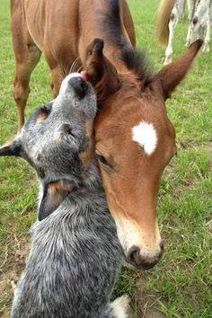 Foal with an Australian Cattle Dog