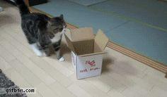 Caterville: Maru Cat Gifs