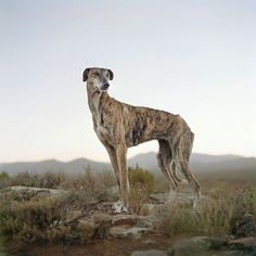 Africanis dog, Sneeuberg Pass, Murraysburg district, South Africa,