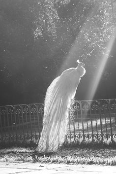 White Peacock in sunlight ~ the beauty of it all captured in black and white