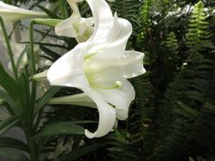 Easter lily at the Seymour conservancy in Tacoma