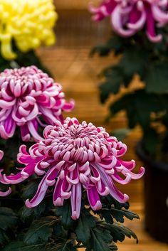 Designs For Garden Flower Beds Japanese Chrysanthemum By Olvwu Japanese Chrysanthemum, Chrysanthemum Flower, Japanese Flowers, Exotic Flowers, Beautiful Flowers, Purple Flowers, Amaryllis, Plant Tattoo, Bloom