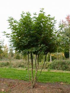 Platanus orientalis 'Minaret' #tree #multitrunk #multistem www.vdberk.co.uk