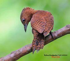 Rufous Woodpecker (Micropternus brachyurus) by Yunus_Mony.