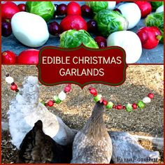 Edible Christmas Garlands for Chickens Recipe Chickens - Homesteading - Livestock - The Homestead Survival - Hens - Rooster - Chicken Coop - Farm Chicken Lady, Chicken Feed, Chicken Coops, Chicken Houses, Chicken Nuggets, Keeping Chickens, Raising Chickens, Raising Quail, Chicken Garden