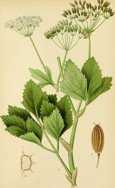 (PUBLIC DOMAIN IMAGE - free to use!) Title: Billeder af Nordens flora Identifier: billederafnorden01lind Year: 1901 (1900s)