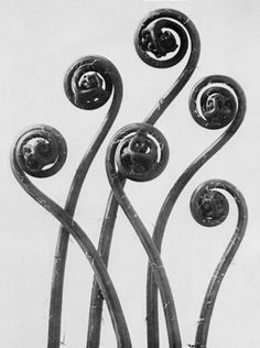 Photographs by Karl Blossfeldt  In this specious present of the real, life struggles to maintain... - but does it float