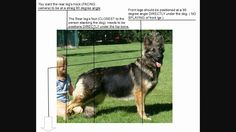 this explains how to stack your GermanShepherd properly for show. This is an example that applies only to American showlines and working lines