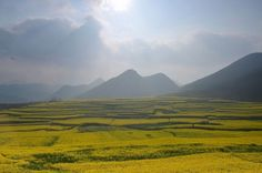 Rapeseed Fields (Canola Flower Fields) in Luoping, China | Discover China