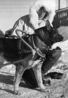 Finnish soldier prepares his dog for sledding. Winter War