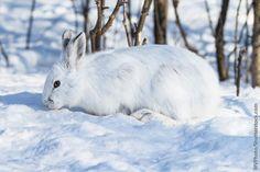 Snowshoe Hare Winter Coat
