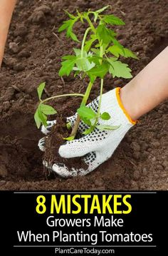 Tomato plant problems, we share 8 common tomato growing mistakes and how to avoid them when planting, increase size, flavor, and overall output. Small Tomatoes, Growing Tomatoes, Growing Vegetables, Tomato Plants, Tomato Pruning, Tomato Garden, Home Vegetable Garden, Veggie Gardens, Garden Soil
